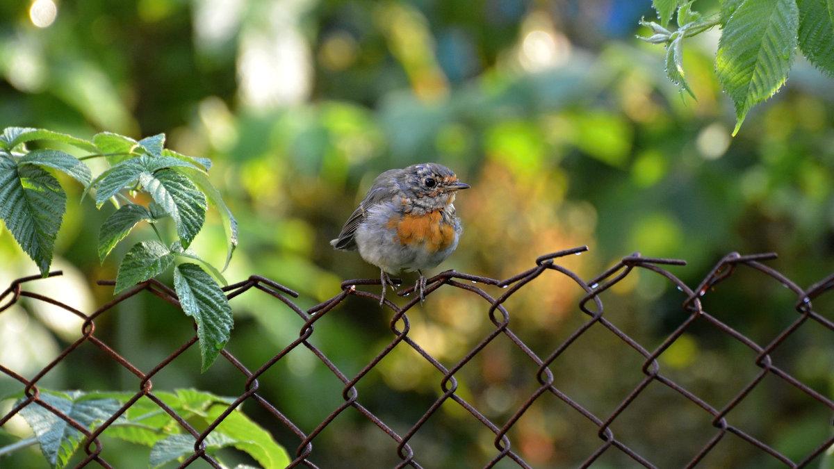 малиновка - linnud