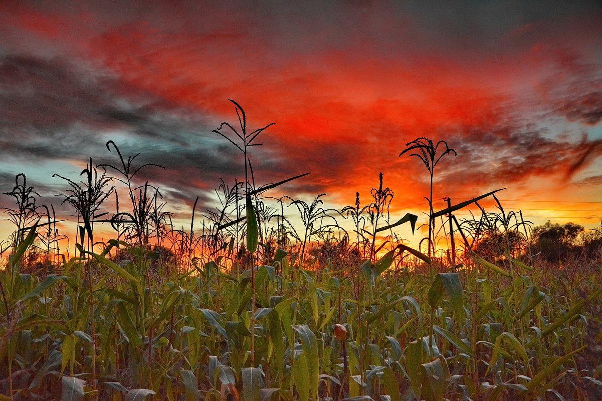 Пламенные мысли кукурузы - Александр