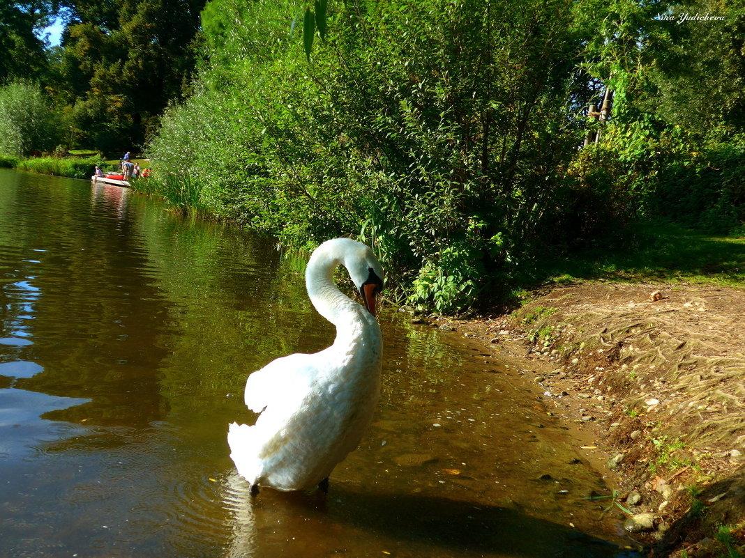 """Лебедь: """"Смотри, какой я красивый!"""" :) - Nina Yudicheva"""