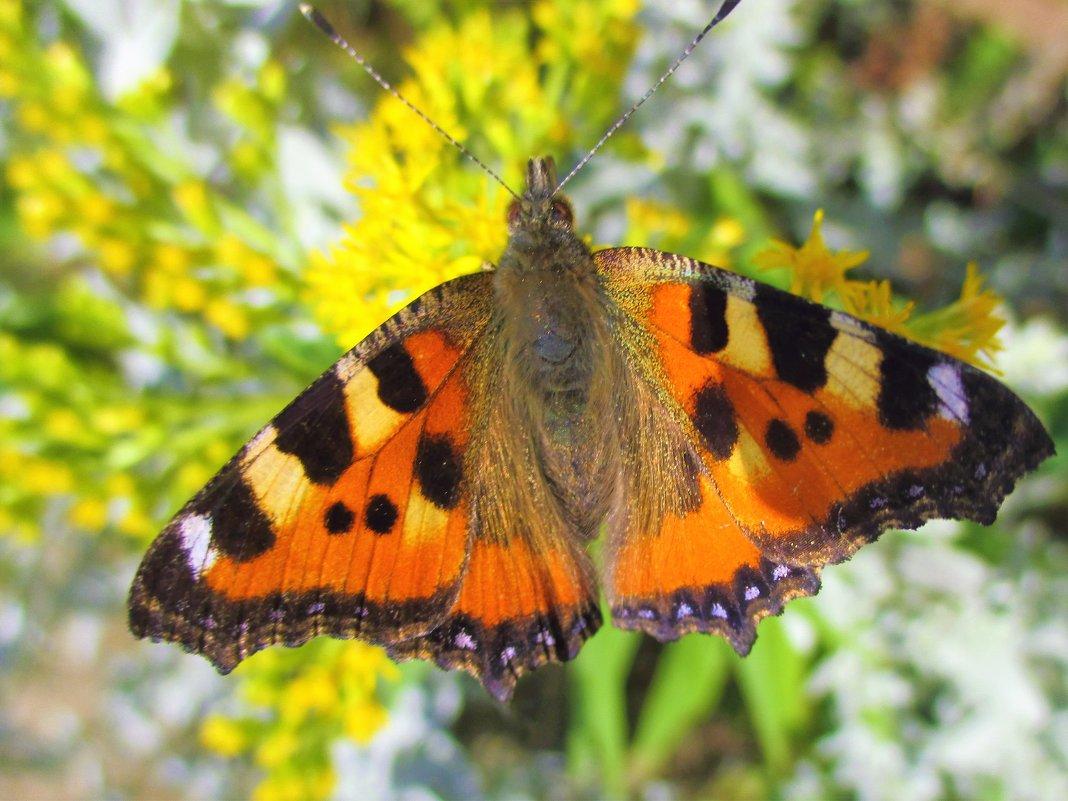 Бабочка- красавица... - Valentina