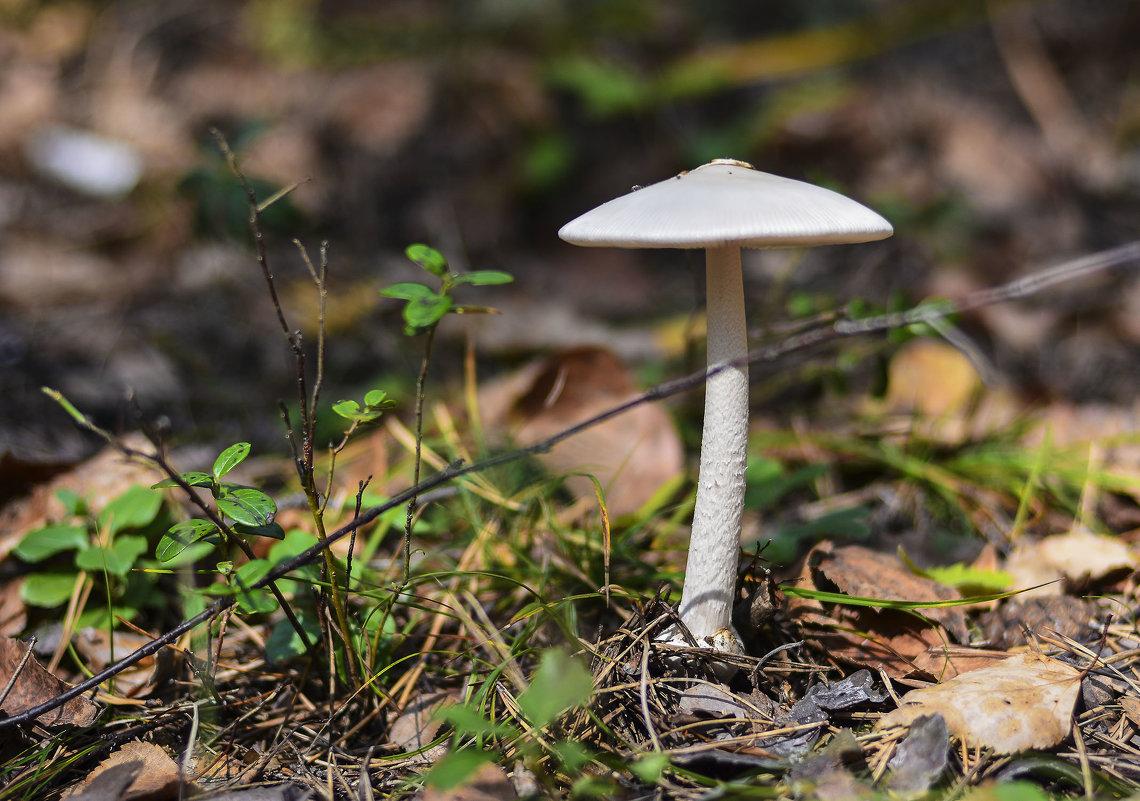 Лесной зонтик - юрий Амосов
