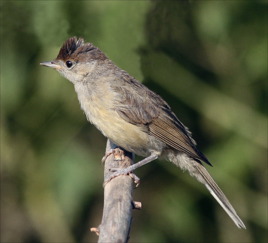 Славка черноголовка-самец - Gavrila68 -Женя