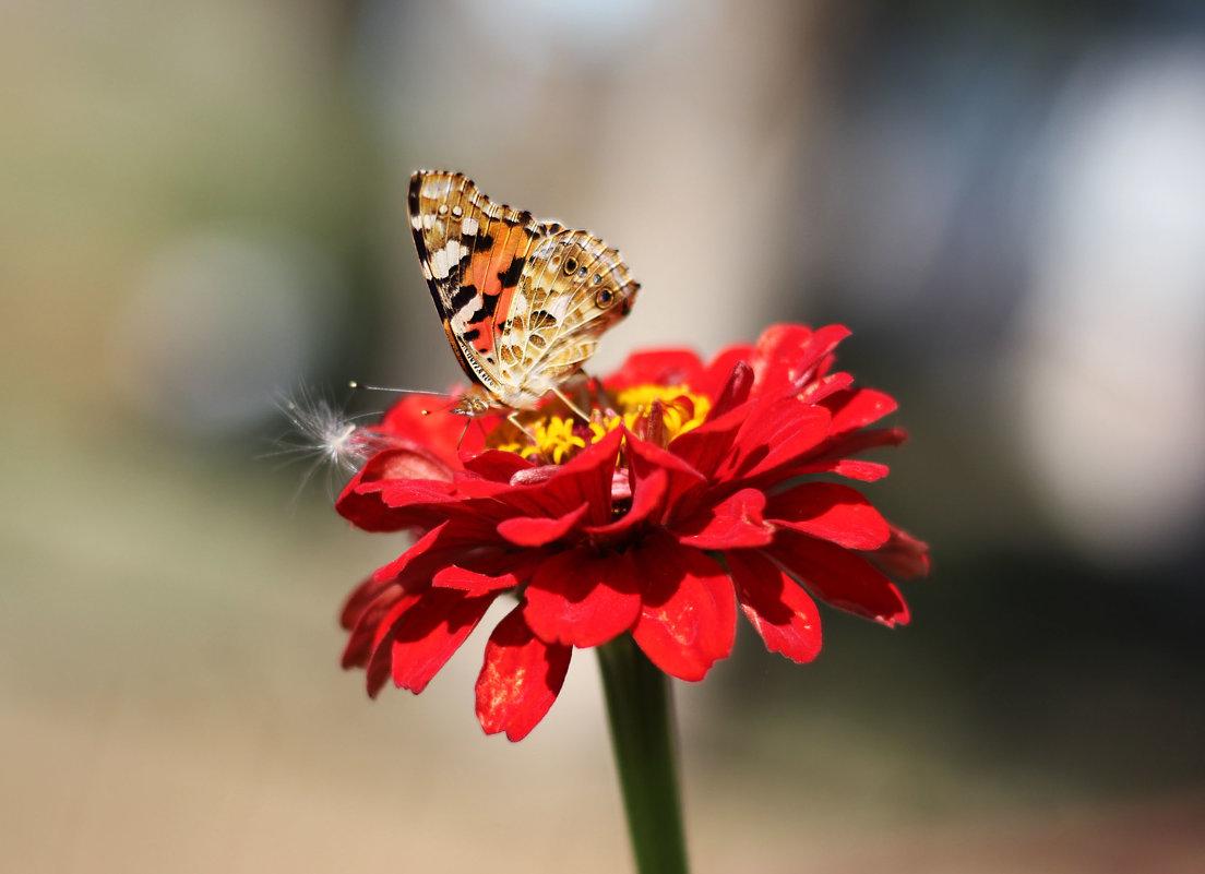 Бабочка и циния - TATYANA PODYMA