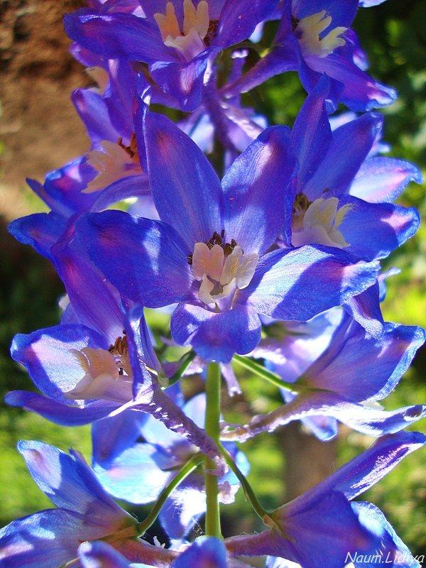 Летняя синь - Лидия (naum.lidiya)
