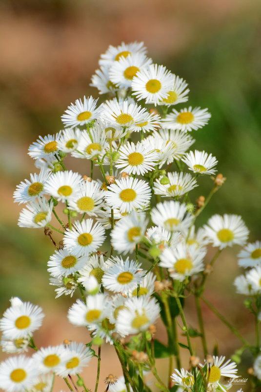 Полевые цветы,полевые цветы....... - Paparazzi