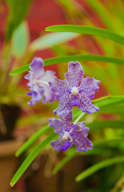 Орхидея - Александр Коликов