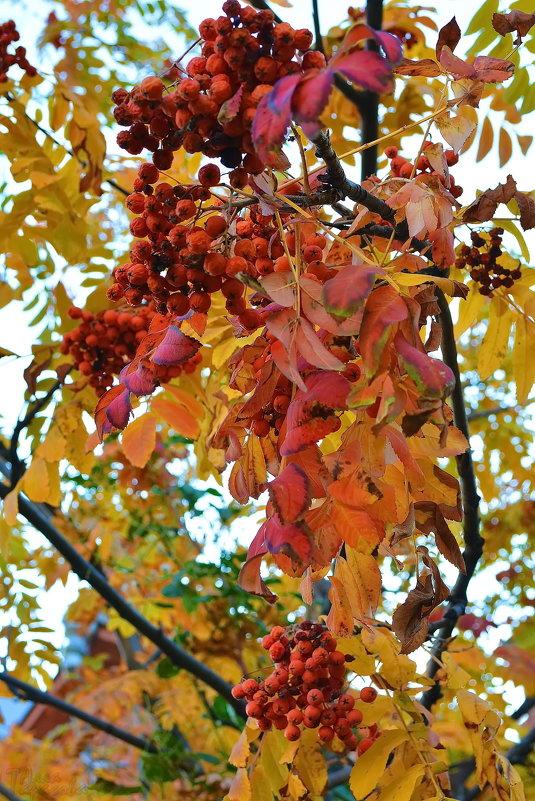 Кучерявая, рыжая осень - 4uika (Алла) Тарасова
