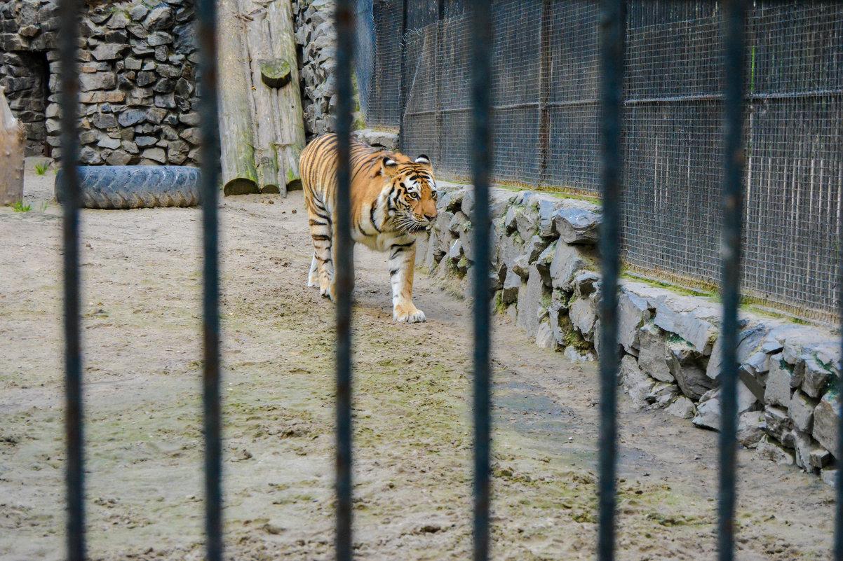тигр - Света Кондрашова