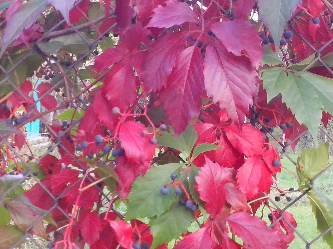Девичий виноград ...... Осень - Виталий  Селиванов