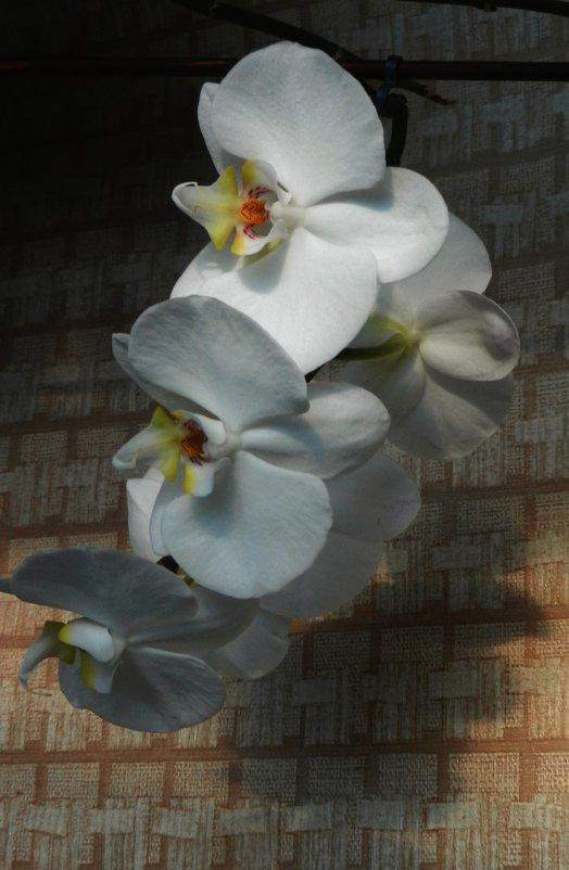 Орхидея - Ольга