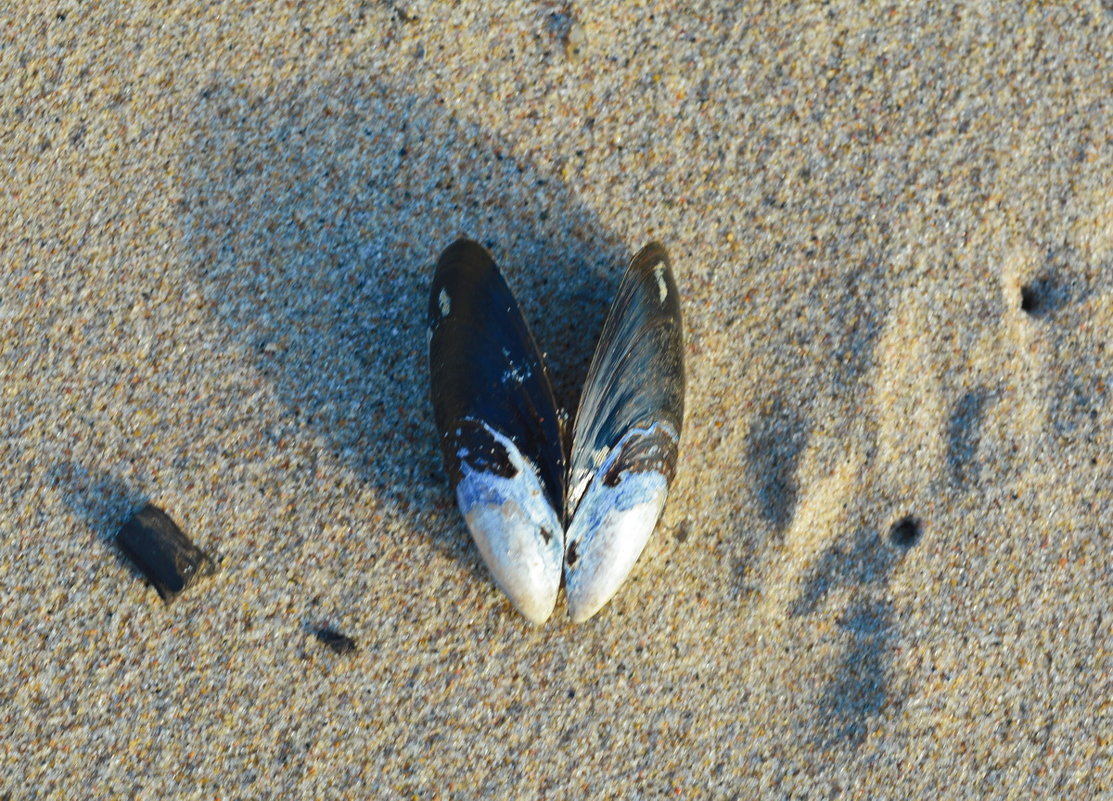 Ракушка на песке. - Марина Никулина