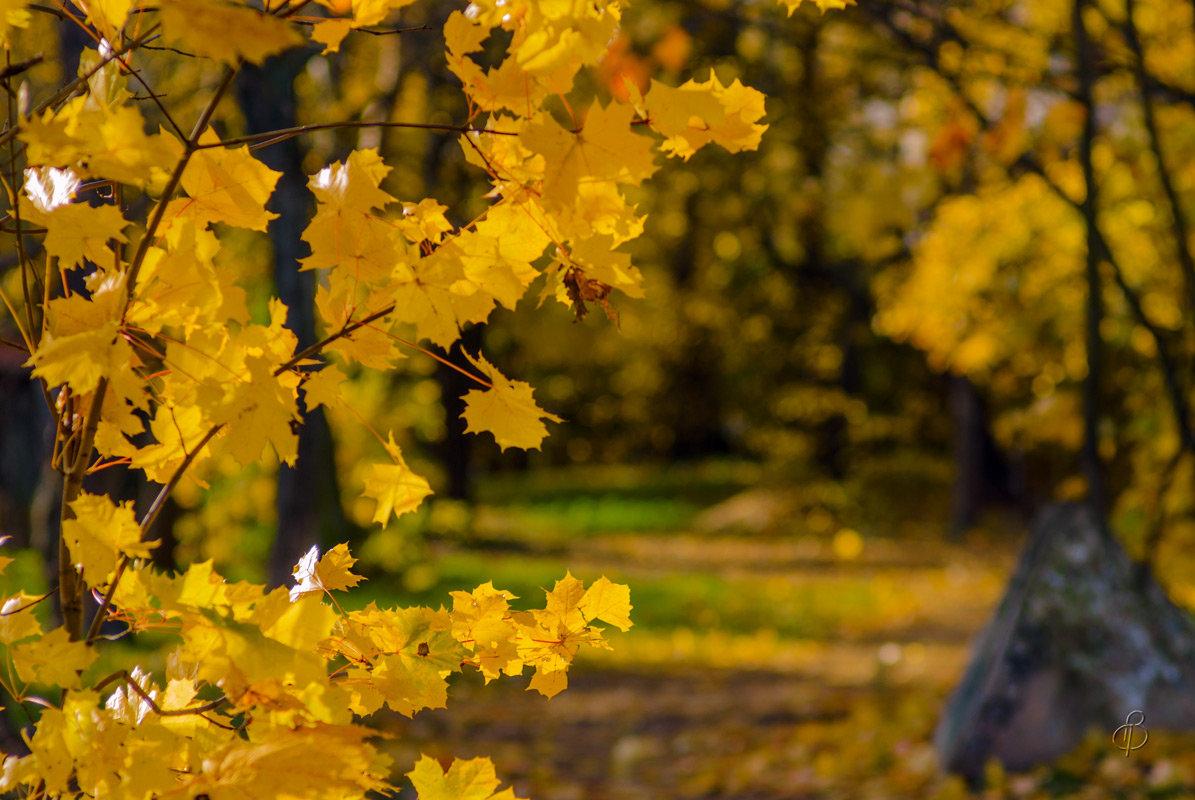 Кленовое золото - Виталий