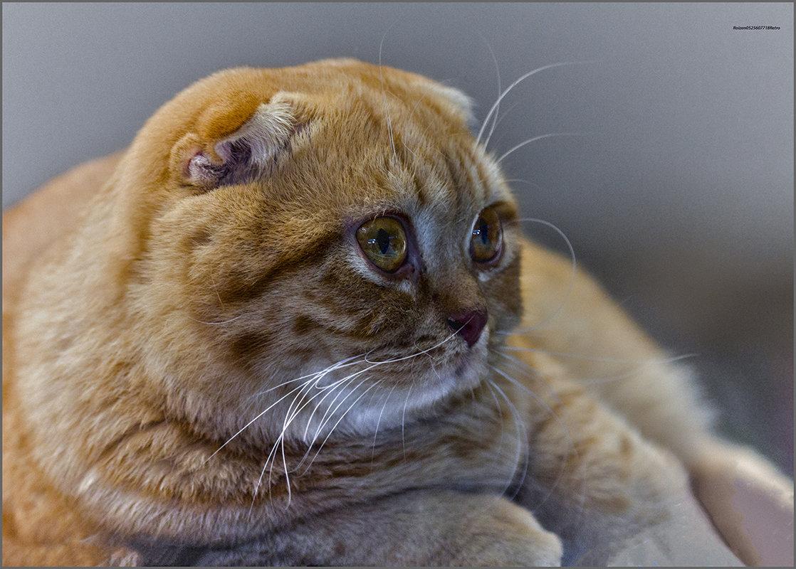 Шотландец-из серии Кошки очарование мое! - Shmual Hava Retro