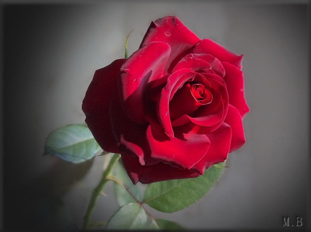 Роза нежная моя - Словно алая заря... - Людмила Богданова (Скачко)