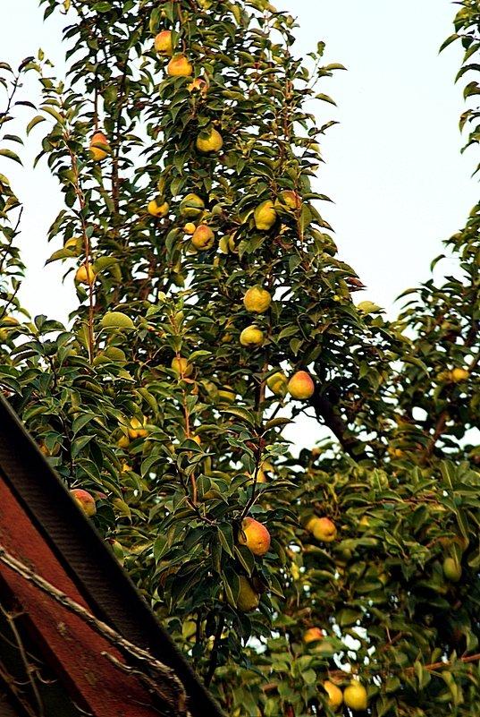 созрели груши в саду у дяди Вани - Александр Корчемный