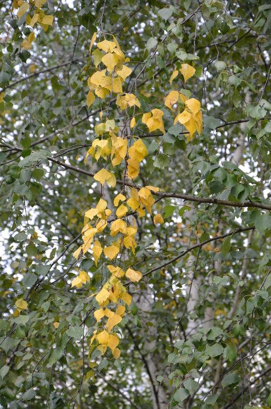Осенние косы берёзы. - Oleg4618 Шутченко