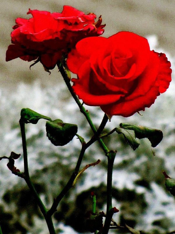 роза - Иван Антипов
