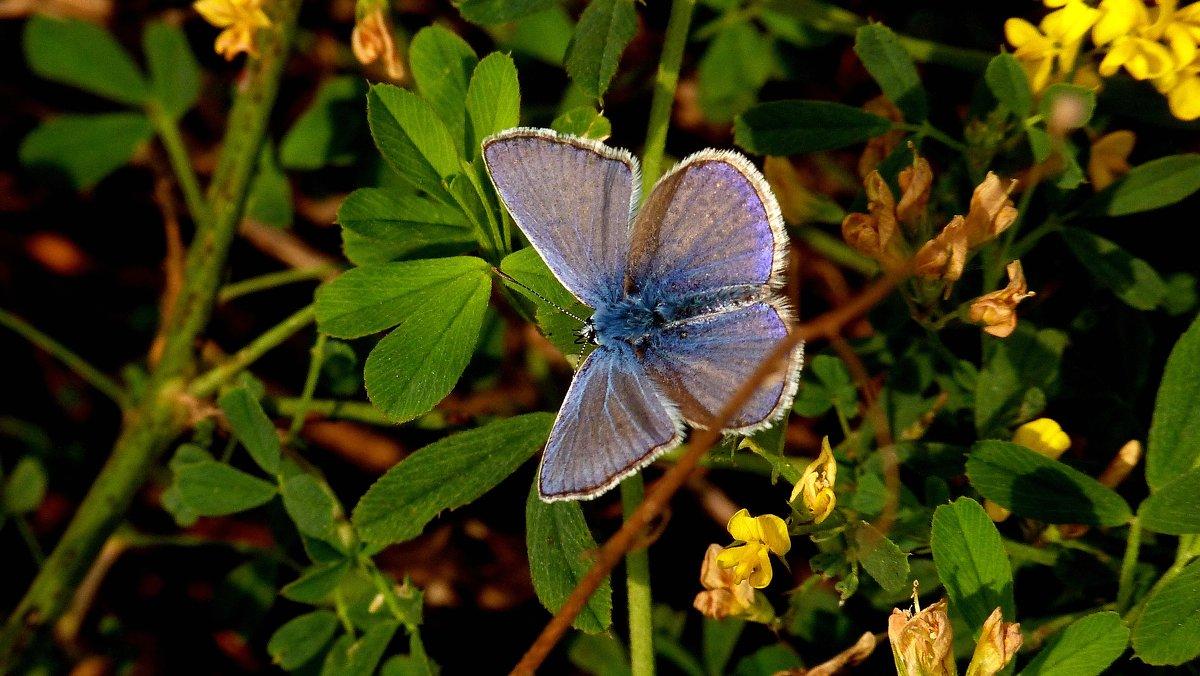 голубянка как цветок - Александр Прокудин