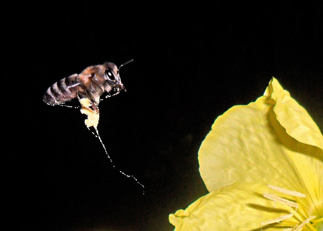 Уже темно,а пчелка на работе! - Наталья