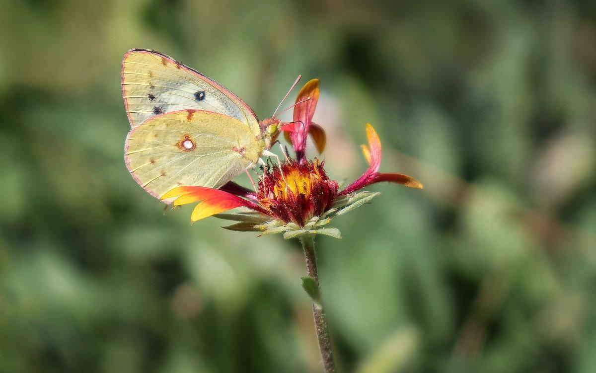 Бабочка на цветке. - Клаус