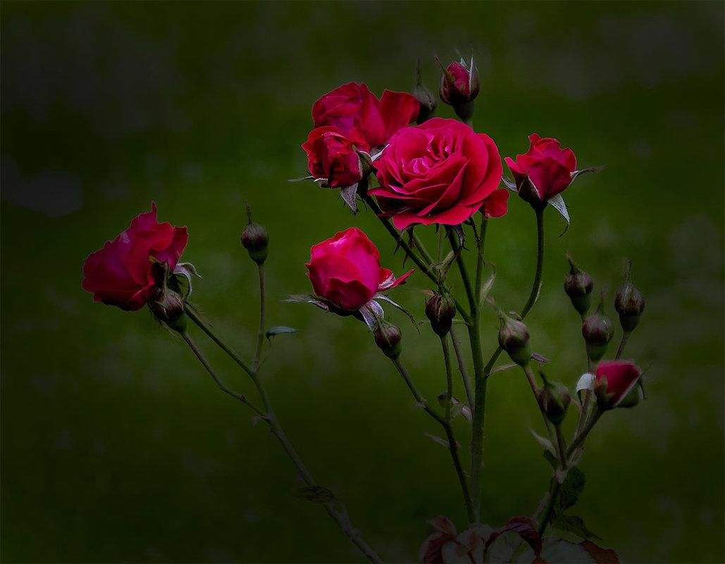 Розы - Александр