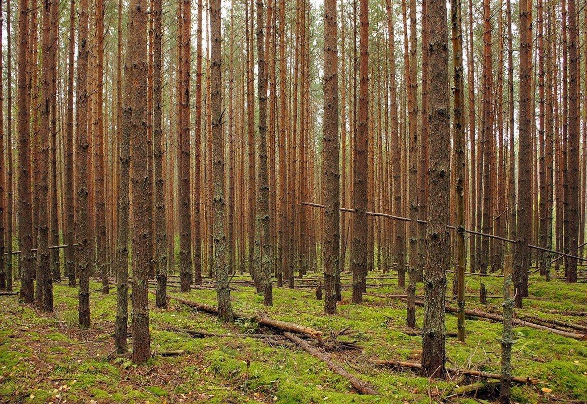 """""""Штрих-код"""" соснового леса... - марк"""