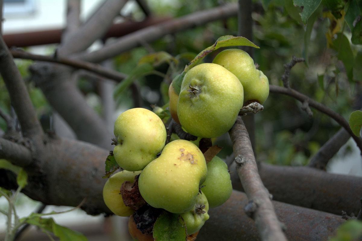 яблоки на ветке - yurij