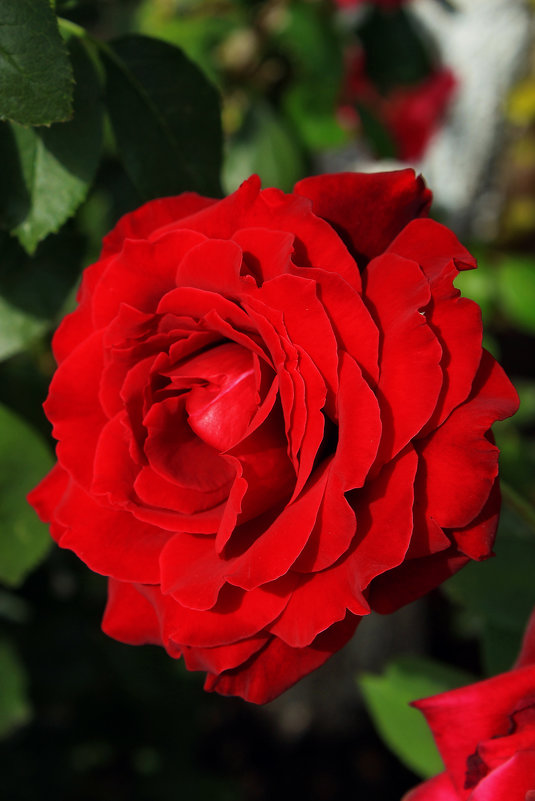 Красная роза - Nataliya Oleinik