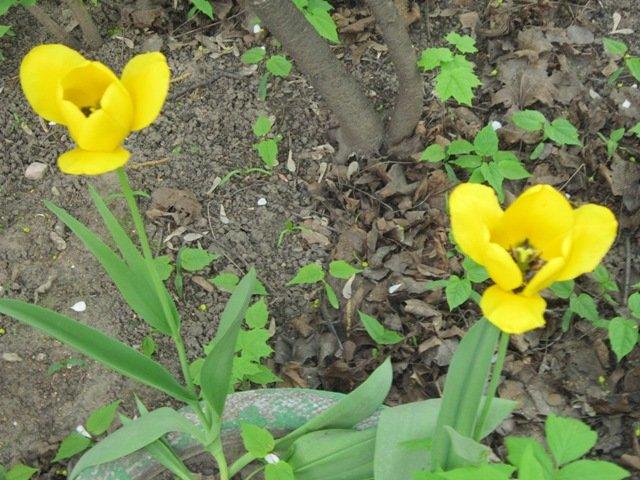 Жёлтые тюльпаны - Дмитрий Никитин