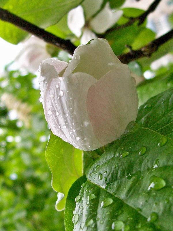 цветок айвы - Галина Pavel