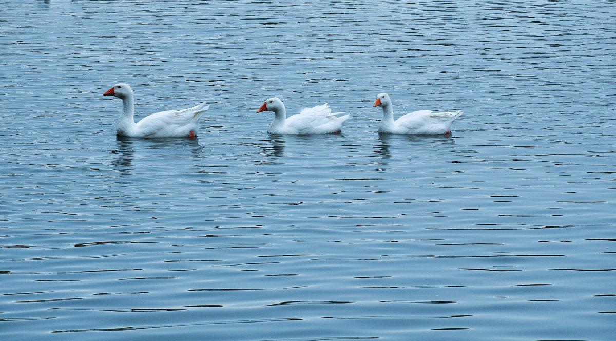 Гуси плывут по озеру - Сергей Тагиров