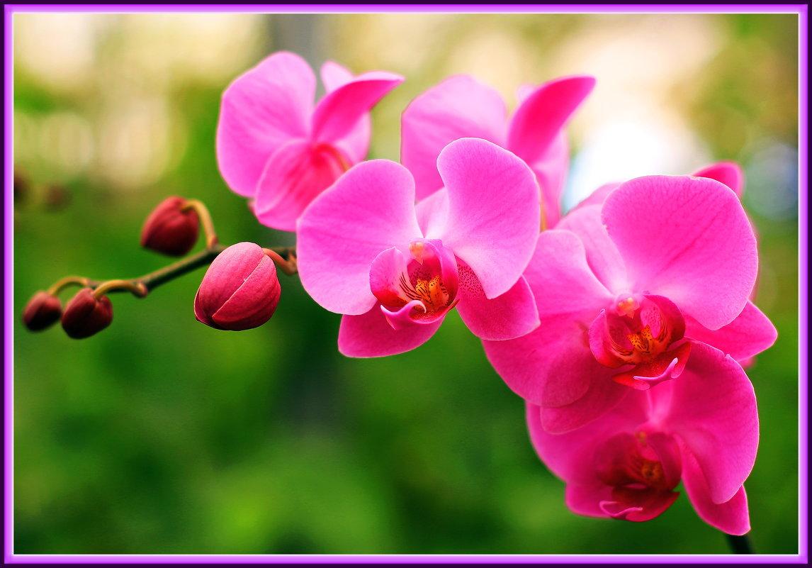 Орхидеи - Николай Волков