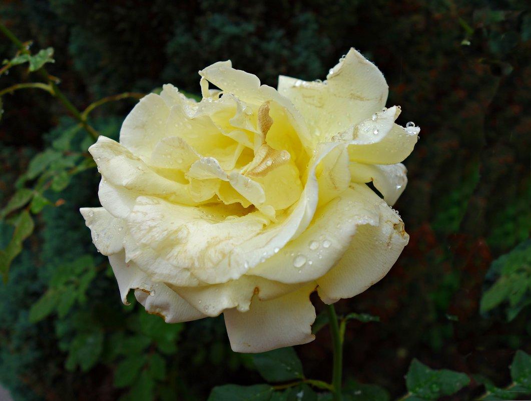 Как жаль, что розы отцветают.... - Galina Dzubina