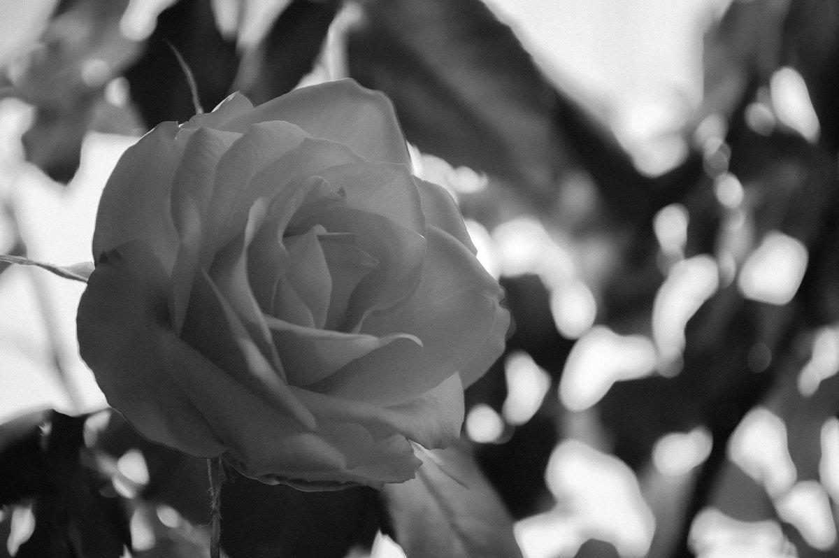 Роза - Майя Смехова
