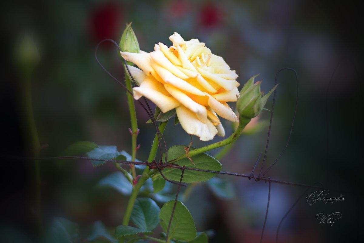Розы - Валерий Лазарев