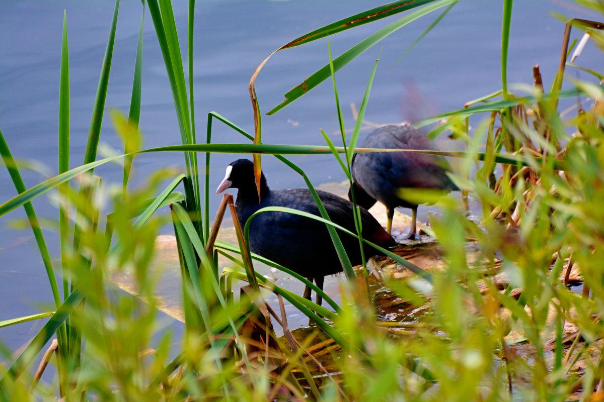 лысухи в камышах - linnud