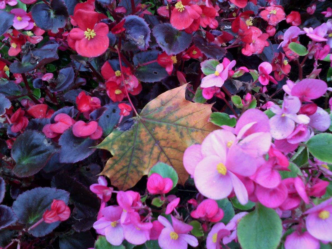 Городские цветы осени на клумбах! Очень красивые! Глаза улыбаются! - Ольга Кривых