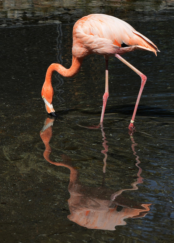 Алматинский зоопарк. Розовый фламинго (2/3) - Асылбек Айманов