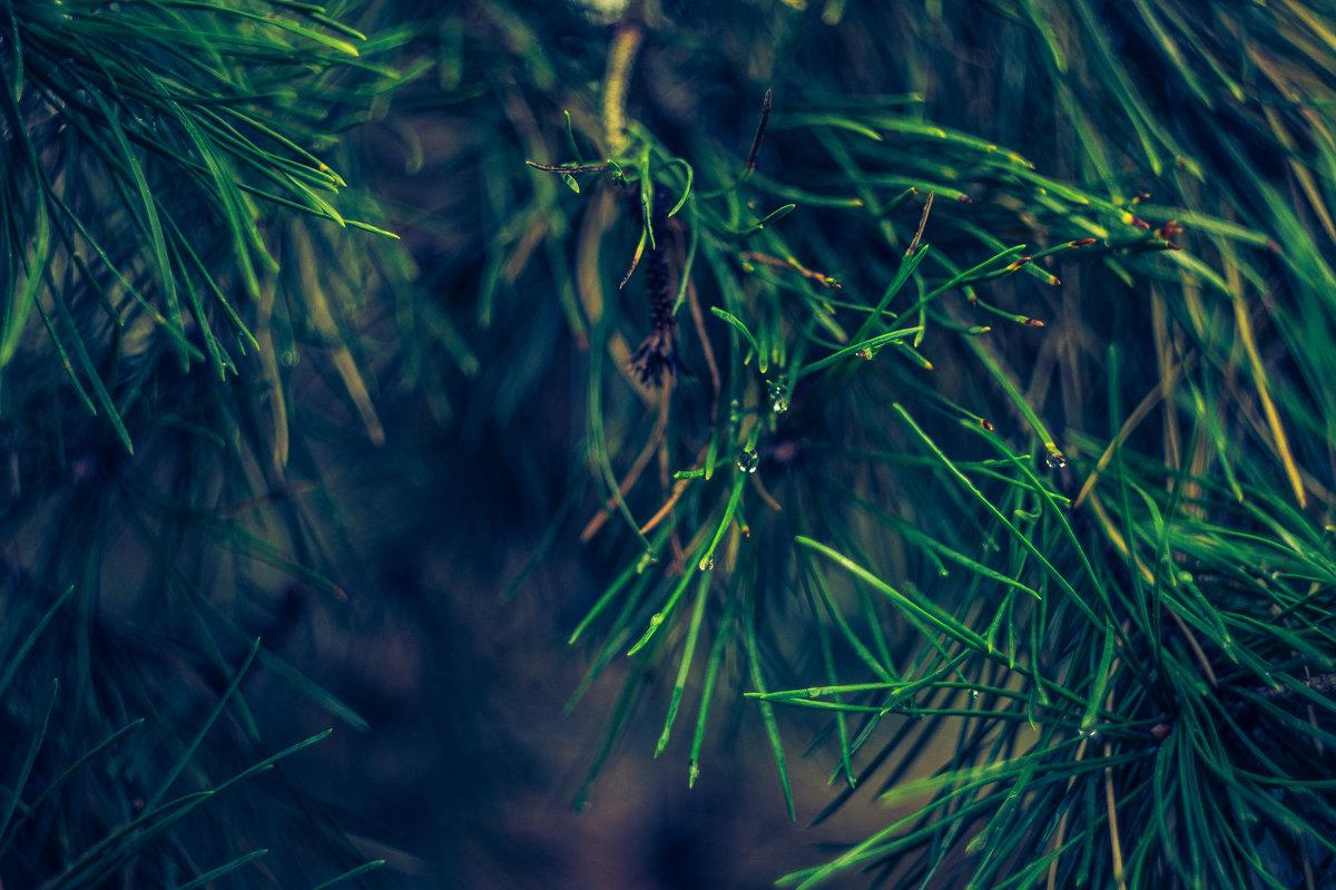 Сосна после дождя 3 - Андрей Наумов