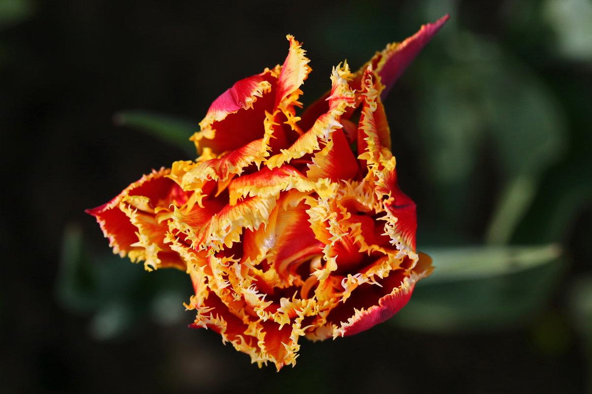 Завихрения тюльпана - Александр Сивкин