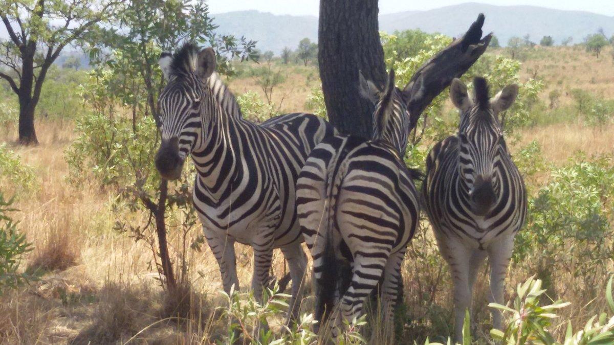 Зебры - Julia A