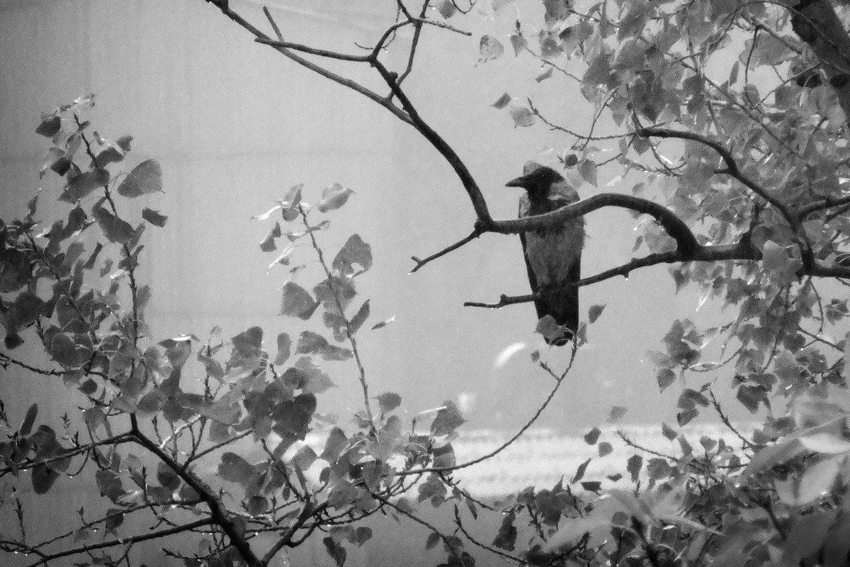 ворона - Дмитрий Барабанщиков
