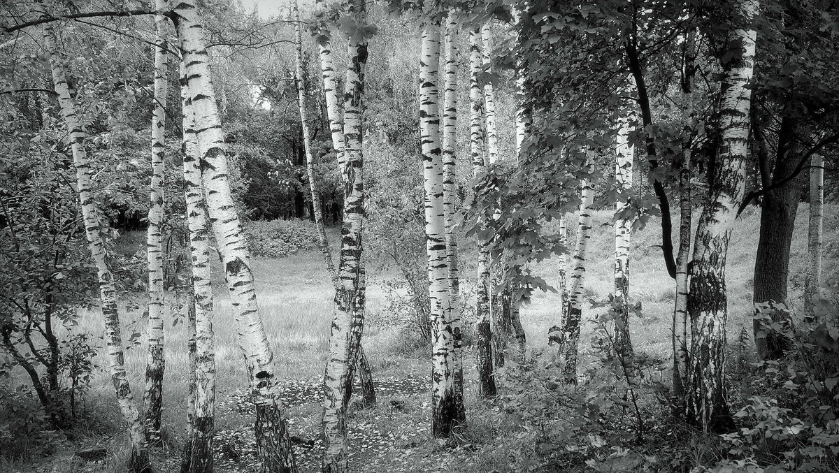 Березы в сентябре - Надежда Бахолдина