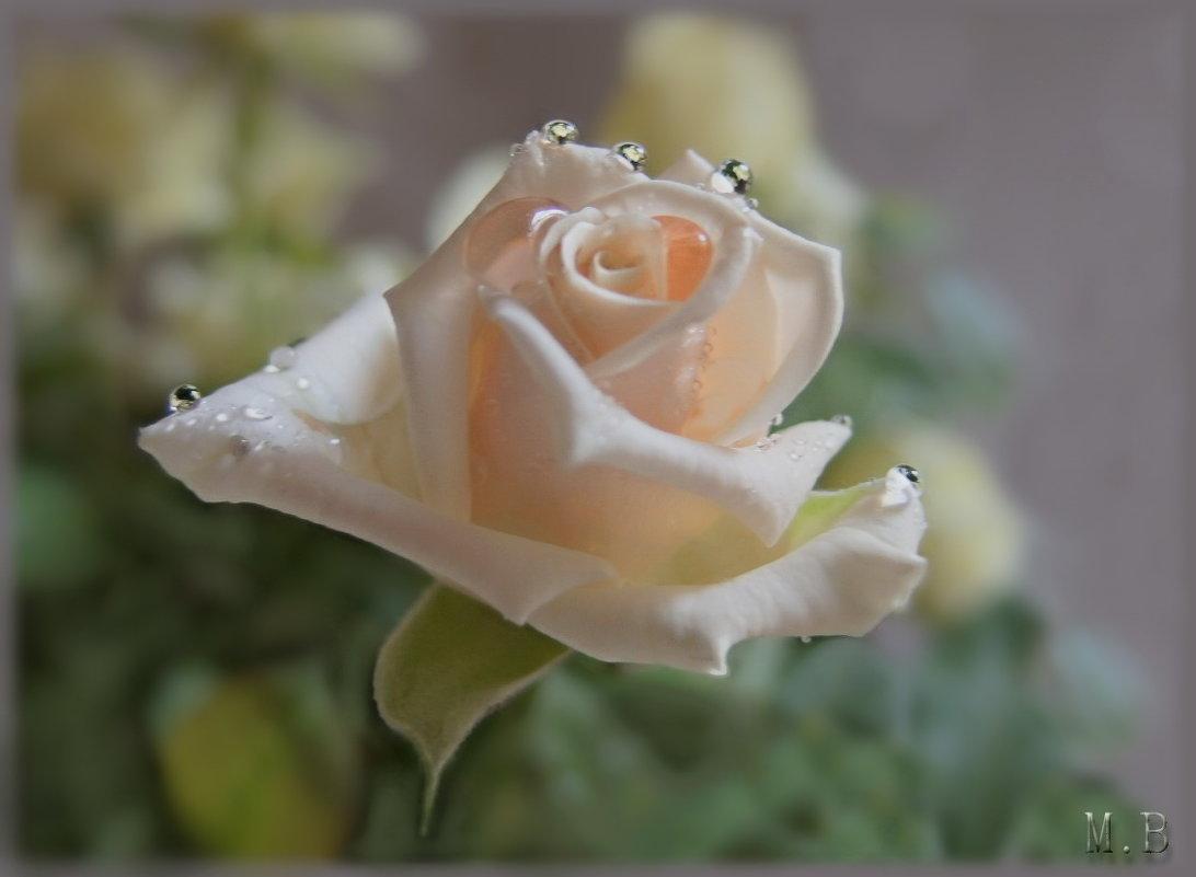 А в голове кружился Моцарт,  и аромат от розы чайной. - Людмила Богданова (Скачко)