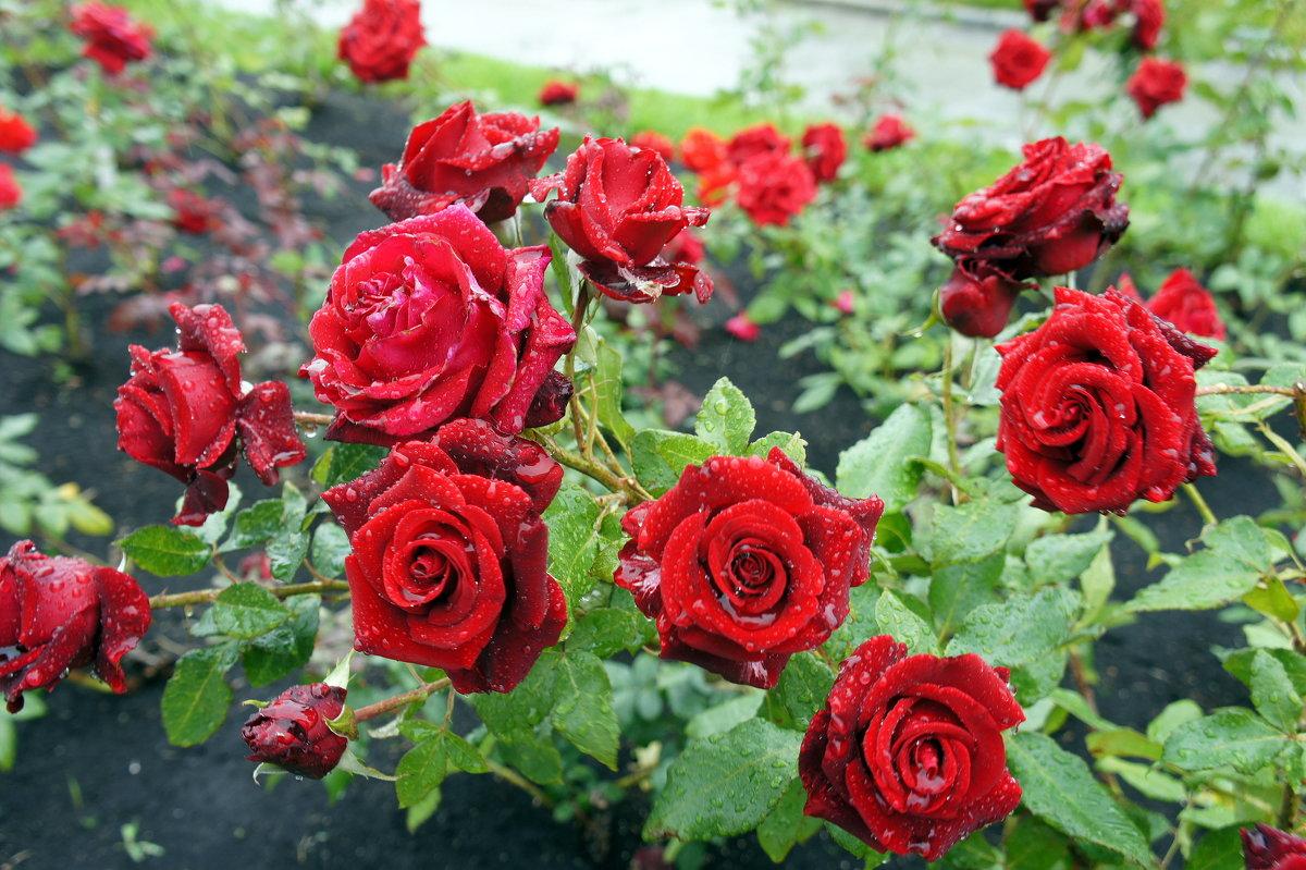 Розы под дождем - Елена Павлова (Смолова)
