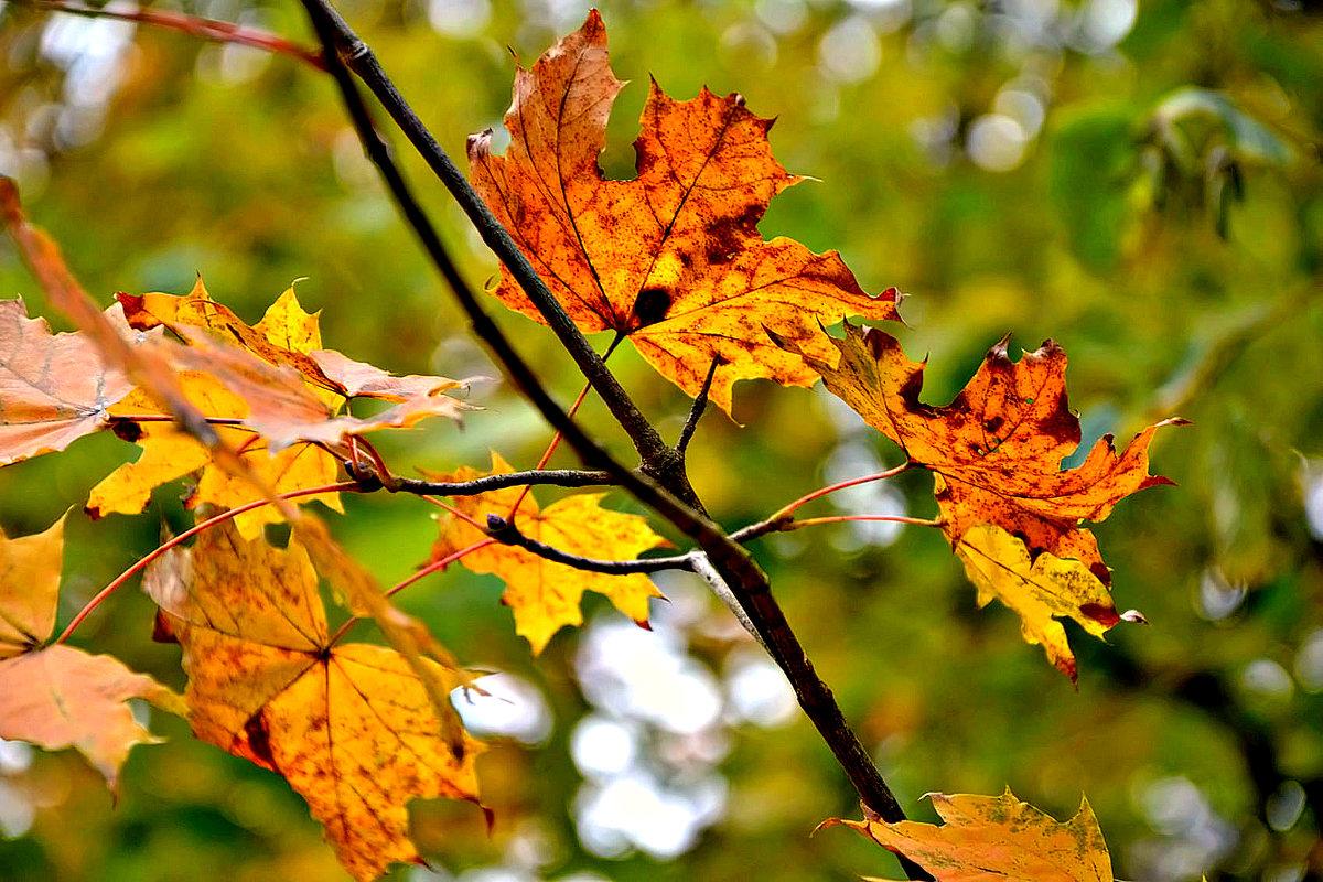 Осенние краски на листьях клена... - Михаил Столяров