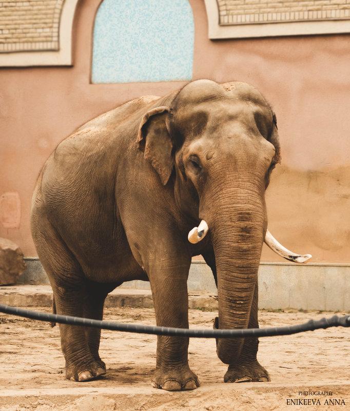 Папа слон - Anna Enikeeva