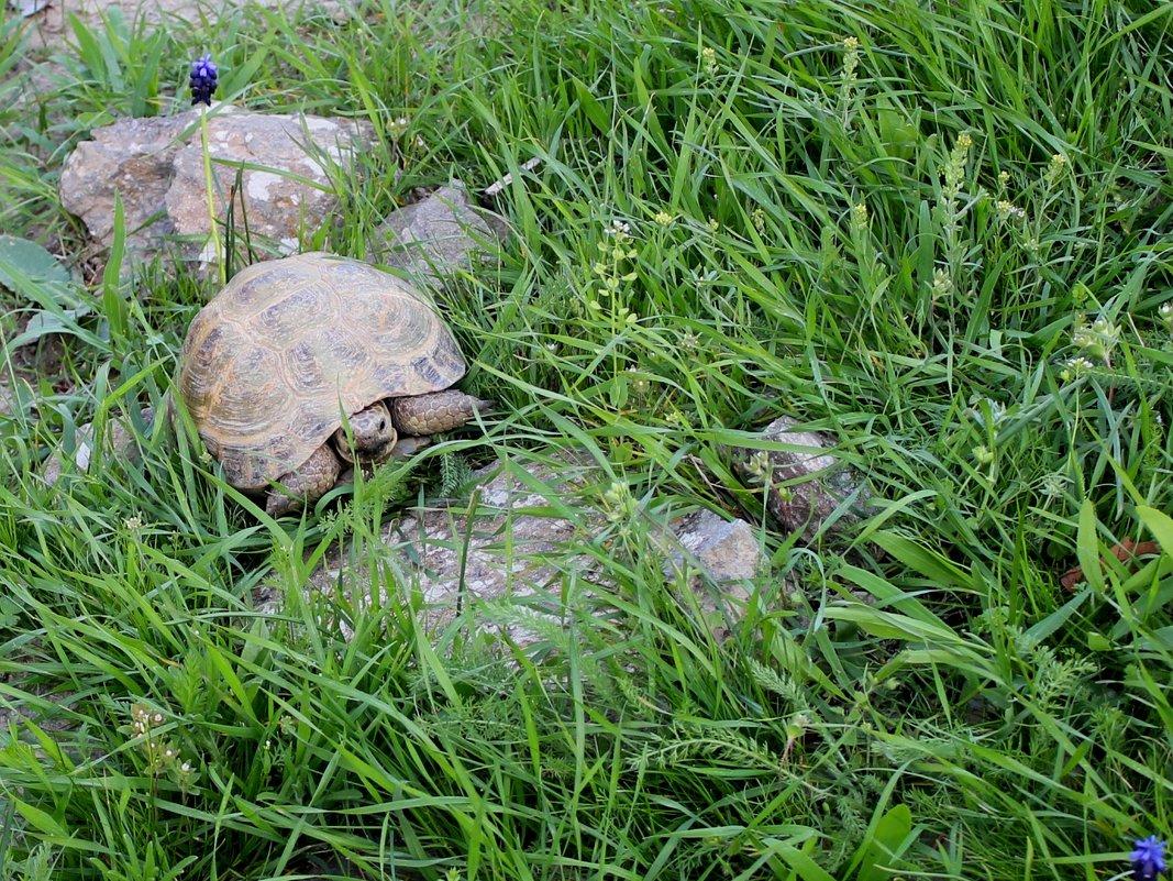 Животные Туркменистана - -черепаха - Elena Соломенцева