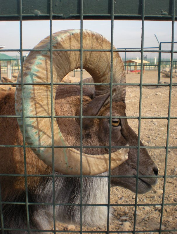 Животные Туркменистана - архар - Elena Соломенцева