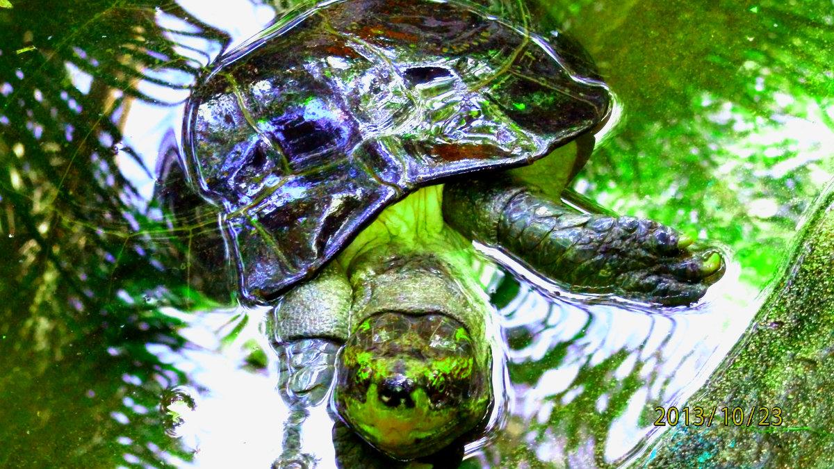 черепаха Тортила - Таня